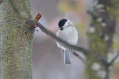 Cincia bigia (kyry2010) Tags: cincia bigia uccello bird uccellino vogel oiseau anmal winter inverno animale poecile palustris