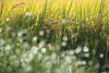金黃色季節|M.ZD 45mm f/1.2 PRO (里卡豆) Tags: olympus penf 45mm f12 pro olympus45mmf12pro 金黃色 gold 稻
