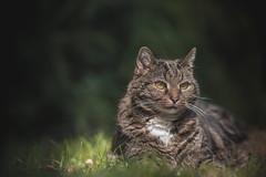 Micki (Ancheru) Tags: micki ancheru bokeh cat katze pet haustier animal tier sonnenlicht sunlight sunray sonnenstrahl sonnenbad sunbath 135mm 135l