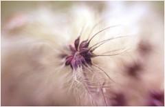 prova obiettivo f1.2 (Photo Luc@) Tags: 40mm f12 lenti vintage canon bokeh sfocato colore fiore allaperto test lente