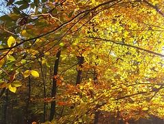 LFV2017110705 (Leo Visser) Tags: autumn fall leaves light sunset forest walt tree herfst boom blad ligt veluwe bos