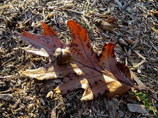 Oak leaf and acorn - Feuille de chêne et gland