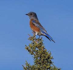 Western Bluebird (Sialia mexicana): In Arizona (mharoldsewell) Tags: 2017 arizona d7200 nikon november sialiamexicana westernbluebird bird birds mharoldsewell mikesewell photos