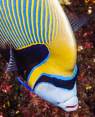Emperor Angelfish, Western form portrait - Pomacanthus imperator (zsispeo) Tags: actinopterygii osteichthyens perciformes pomacanthidae pomacanthus teleostei imperator scuba diving tropical reef fish underwater macro macrophotography sea ocean holidays vacation summer beach relaxation coral fauna wildlife wild science taxonomy travel sustainable life aquatic beautiful nature animal biology id identification souvenir living favorite natural rare saltwater turquoise blue conservancy quality escapade tourism wet outdoors emperorangelfish réunion