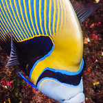 Emperor Angelfish, Western form portrait - Pomacanthus imperator thumbnail