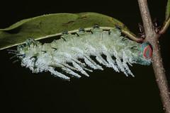 Attacus atlas (Linnaeus, 1758) - mid-instar caterpillar (Marcell Kárpáti) Tags: attacusatlas saturniidae lepidoptera atlasmoth atlaszlepke caterpillar hernyó