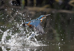 Bathing (ogawa san) Tags: kingfisher bird wildbird water pond cold splash kanazawabunko autumn yokohama kanagawa japan カワセミ 翡翠 日本 水浴び