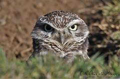 Burrowing Owl (larryvenus) Tags: owls birdsofprey burrowingowls davisowls davisburrowingowls road104burrowingowls road104yolocounty yolocountyowls nikon nikonphotography nikond500 tamron tamronphotography tamron150600mmlens