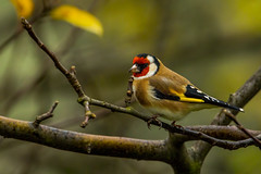 European goldfinch (Bojan Žavcer) Tags: goldfinch