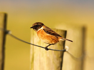 Male Stonechat- Rye Harbour