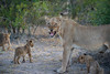 Lioness & Cubs (Mike/Claire) Tags: lioness lioncub 2016 southafrica tandatula timbavati