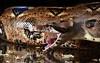 Boa Constrictor Imperator Firebelly (Siggital) Tags: boa constrictor imperator firebelly schlange snake