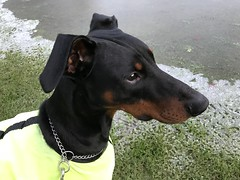 Saxon On Ice (firehouse.ie) Tags: animals animal k9 11months young boys boy males fantasticnature male dogs dog pinscher pinschers dobermanns dobermans dobermann doberman dobies dobie dobes dobe dobey dobeys saxon