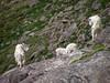Mt Evans Goats (X90) (ssepanus) Tags: sepan co colorado mtevans goats pentax x90 lightroom