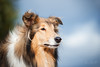 Miss Beauty (mona_hoehler) Tags: dog pet animal collie american model shooting nikon tamron beauty girl duesseldorf summer sun outdoor