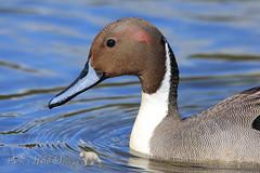 Splash of Color (PamsWildImages) Tags: duck bird britishcolubia beautiful pintail pammullins pamswildimages nature naturephotographer wildlife wildlifephotographer