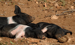 Young pigs having siesta (Geminiature Nature+Landscape Photography Mallorca) Tags: varkens cerdos pigs young biggetjes biggen mallorca little pequeño juvenile siesta sunbathing tomandoelsol piglets