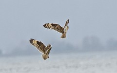 Short-eared Owl (richmondbrian) Tags: shorteared owl