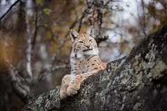 Majestic (CecilieSonstebyPhotography) Tags: rock portrait eurasianlynx lynx paws closeup cat canon september animal norway trees markiii majestic gaupe beautiful langedrag canon5dmarkiii bokeh ef70200mmf28lisiiusm autumn birch branches overview catfamily specanimal ngc npc