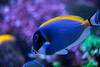 Powder Blue Tang (ct_purley) Tags: reef tank corals fish saltwater canon 5d mark iv dan underwater