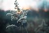 Winter is coming... (ursulamller900) Tags: pentacon2829 seeds winter bokeh eveningsun