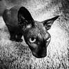 Sphynx (marikoen) Tags: cat blackandwhite littledoglaughednoiret artlibres