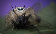 Jumping spider (Dean Lerman) Tags: jumping spider insect bug dean lerman macro lomo nikon
