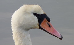 Mute Swan (Dendroica cerulea) Tags: muteswan cygnusolor cygnus cygnini anserinae anatidae anseriformes galloanserae aves bird swan waterfowl autumn wreckpond springlake monmouthcounty nj newjersey