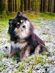 What?? Yes, guess what 😄 Mom's being weird again 😂 (evakongshavn) Tags: 7dwf fauna dog dogs dogsonadventures bestdogever bestfriendsforever dogsofnorway flickrdogs dogphotography dogsthathike dogportrait animal animalportrait petphotography petportraits pet pets