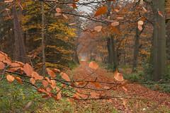 Herfst - Ridderoordse bossen (mariandeneijs) Tags: bos bomen boom herfst forest herbst autumn utrechtseheuvelrug ridderoordsebossen