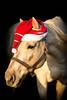 Santa's Sunny Helper (dana.ny) Tags: horse gelding quarterhorse palomino equine christmas halter portrait