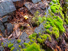 Stump (ex_magician) Tags: stump macro mushrooms moss trail forest highlakestrail klamathfalls oregon moik photo photos picture pictures image interesting lightroom adobe adobelightroom lakeofthewoods fishlake