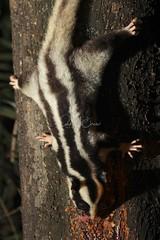 Striped Possum (Caleb McElrea) Tags: athertontableland farnorthqueensland wettropicsofqueensland worldheritagearea unesco queensland australia rainforest tropical hot biodiversity wildlife wildlifephotography nocturn nocturnal nocturnalphotography nocturnalwildlife nocturnalwildlifephotography petaurus chamberswildlifelodges