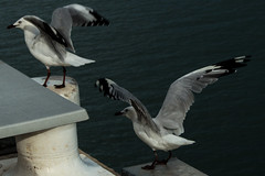 Seagulls (betadecay2000) Tags: seagull seagulls möve moeve moeven möven seevolgel vogel vögel bird seabird birds water wasser see meer ozean stokeshillwharf darwin northernterritory territory austral australien australia australie reise travel reling