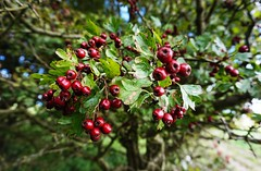 Hawthorn berries on the South Downs Way 3 (Leimenide) Tags: hawthorn red berries autumn south downs way fruit nature bush plant tree