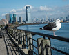 Seagull on the Hudson River, Liberty State Park, New Jersey (jag9889) Tags: jag9889 usa railing libertystatepark waterway people newjersey outdoor hudsonriver 20171102 2017 tower hudsoncounty walkway goldmansachs seagull skyline jerseycity building architecture gardenstate house lsp nj park river unitedstates unitedstatesofamerica water us bird waterbird