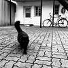Les chats sont curieux de nature... (woltarise) Tags: chat ruelle curieux montréal rosemont littledoglaughednoiret