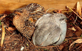 A QUAIL CHICK UNDERNEATH THE MOTHER'S WING