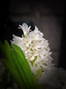 hyacinth (maj-lis photo) Tags: hyacinth white