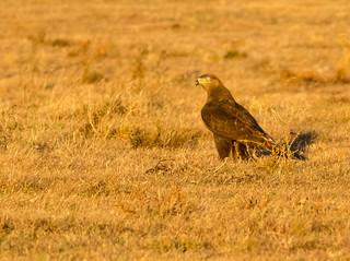 Juvenile dark morph Ferruginous Hawk. (explored 12-6-17)