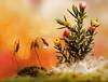 The Tree (miss gecko) Tags: christmas tree decorations moss waterdrop sundaylights