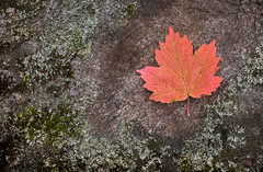 Canadian Autumn (Randy Lowden) Tags: mapleleaf leaf colorful colourful landscape autumn fall canada randylowden canon ontario