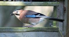 Jay (NickWakeling) Tags: jay strumpshawfen rspbstrumphawfen strumpshaw norfolk nature bird sigma150600mmf563dgoshsmcontemporary canoneos7dmarkii wildlife