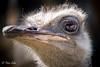 Avestruz - Reflejo en ojo (patxi.salan) Tags: cabarcenosanmartinzarpatxisalan ojo avestruz