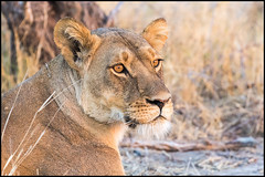 African Lioness (John R Chandler) Tags: africanlion animal bigcat female lion lioness mammal matabelelandnorthprovince ngamo ngamoplains pantheraleo zimbabwe zw