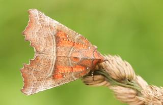 Herald Moth (Scoliopteryx libatrix) 2017