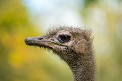 Muddy Ostrich (meccabolix) Tags: a7rii fe 70300mm ostrich bird autumn