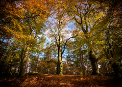 Autumn Colour (Andy & Helen :-) :)) Tags: autumn colour woodland beech trees cannockchase staffordshire andyholt olympus explored inexplore england landscape
