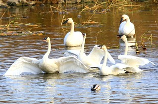 tundra swans singing near Brownsville MN 854A5314