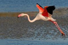 DSC_6217_DxO_pn - Flamant rose - Phoenicopterus roseus - Greater Flamingo (Berzou) Tags: camargue oiseau bird nature naturebynikon fantasticnature nik nikond7000 tamron150600 flamantrose phoenicopterusroseus greaterflamingo